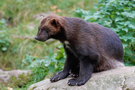 habitat: Wolverine resting on a rock in its natural habitat Stock Photo