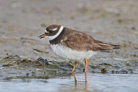 Common ringed plover looking for food in its habitat Stock Photo
