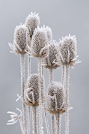 Frozen teasels on a grey winter background Stock Photo - 76318841