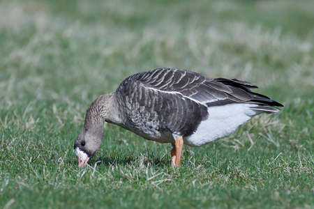 white fronted goose: Greater white-fronted goose looking for food in its habitat Stock Photo