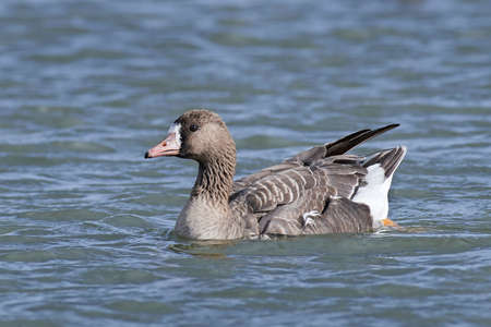 white fronted goose: Greater white-fronted goose swimming in its habitat Stock Photo