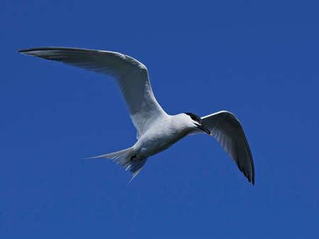 Sterne caugek en vol avec un ciel bleu en arrière-plan Banque d'images - 79164067