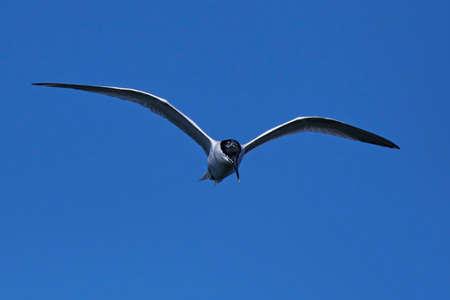 Sterne caugek en vol avec un ciel bleu en arrière-plan Banque d'images - 80121735