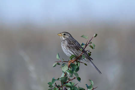 Corn bunting resting on a branch in its habitat
