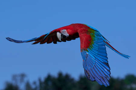 Green-winged macaw in flight with blue skies in the background Stock Photo