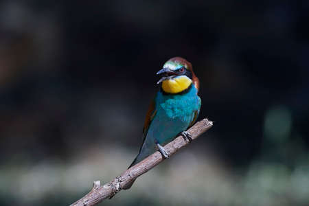 resting: European bee-eater resting on a branch in its habitat