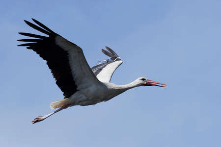 White stork in flight with blue skies in the background Фото со стока