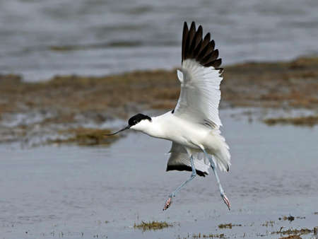 Pied avocet in flight with vegetation and water in the background