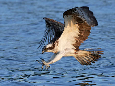 Osprey in flight just before catching a fish in the water