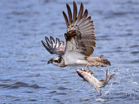 Osprey in flight with a fish in its claws and water in the background