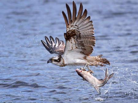 Osprey tijdens de vlucht met een vis in zijn klauwen en water op de achtergrond