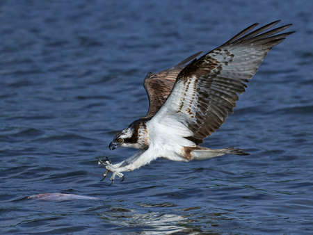 Osprey in flight just before catching a fish