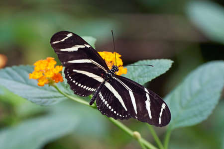 Zebra longwing butterfly sitting on a flower