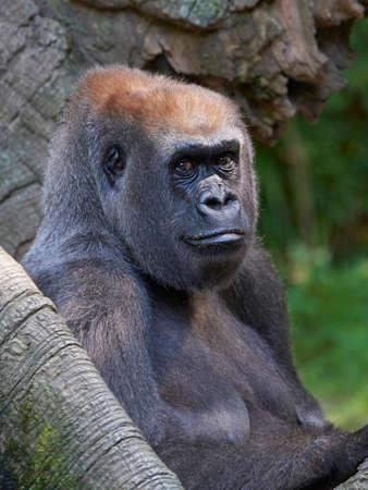 Western lowland gorilla resting in its habitat Фото со стока
