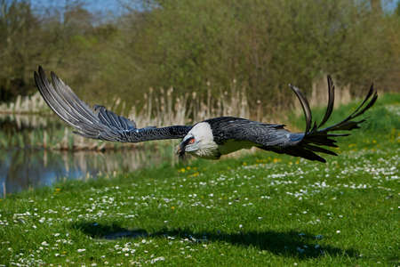 Bearded vulture in flight with vegetation in the background Stock Photo