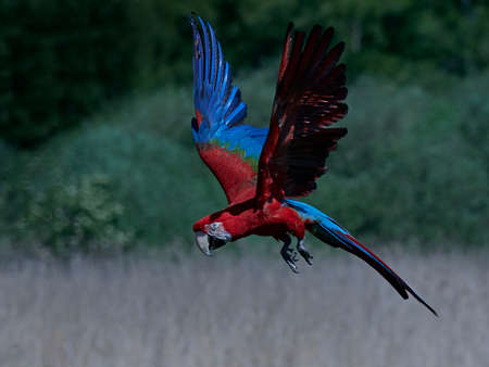 Green-winged macaw in flight with vegetation in the background Stock Photo