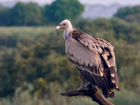 Griffon vulture resting on a branch in its natural habitat Stock Photo - 91273461