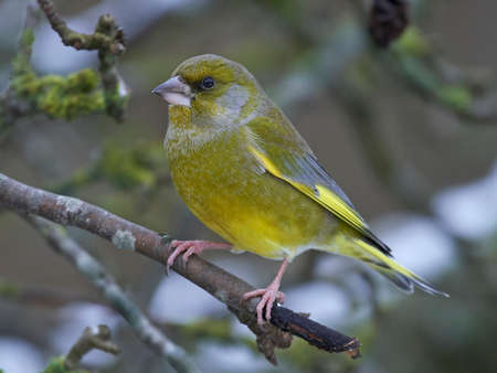 European greenfinch in its natural habitat