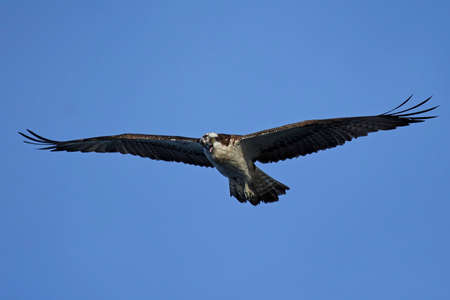Osprey in flight with blue skies in the background