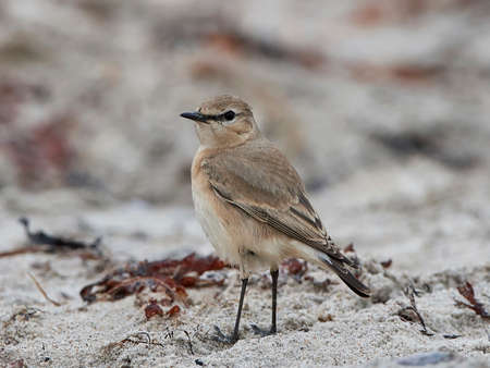 Isabelline wheatear in its natural habitat at the beach
