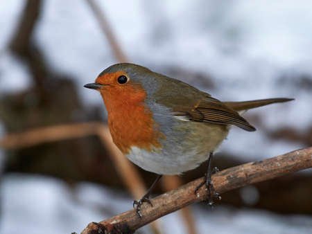 European robin in its natural habitat