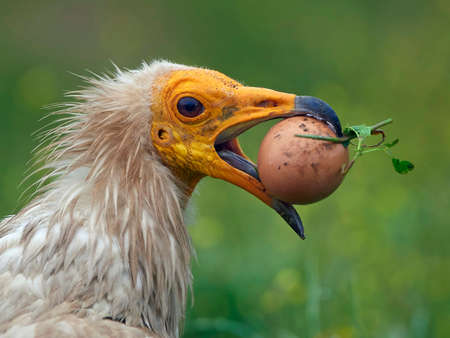 Closeup image of an Egyptian vulture with a egg in its beak