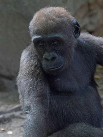 Closeup portrait of the western lowland gorilla Stock Photo