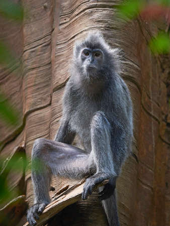 Silvery lutung resting in a tree in its habitat