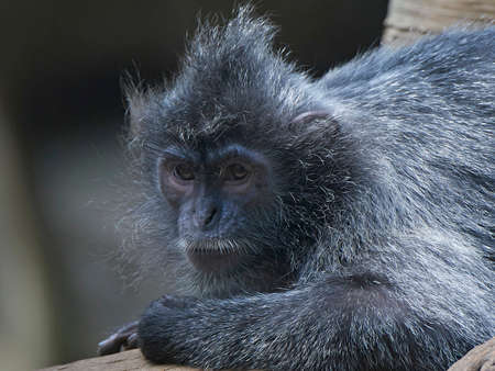 Closeup portrait of the Silvery lutung in its habitat