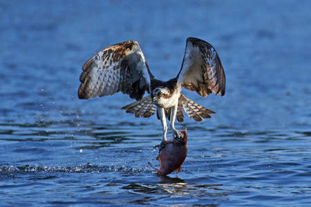 Osprey in flight with a fish in its claws in its natural habitat