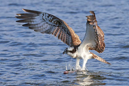 Osprey catching a fish in its natural habitat Stock Photo