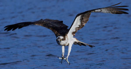 Osprey in flight with water in the background