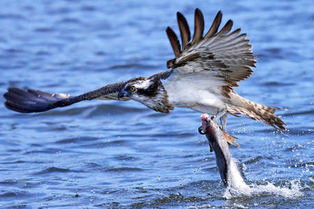Osprey in flight with a fish in its claws