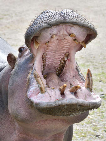 Closeup image of a Hippopotamus with open mouth 스톡 콘텐츠 - 95459412