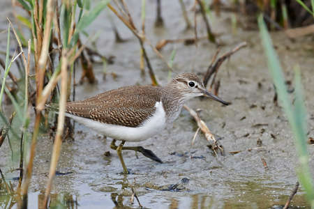 Common sandpiper looking for food in its habitat