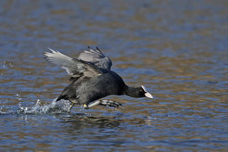 Eurasian coot in its natural habitat in Denmark