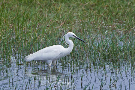 Little egret in its natural habitat in Extremadura, Spain