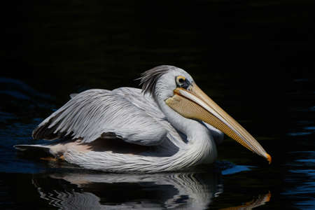 Pink backed pelican swimming in water looking for food Stock Photo