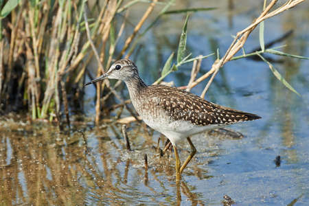 Wood sandpiper in its natural habitat in Denmark Stock Photo - 97730632
