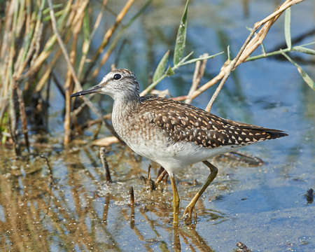 Wood sandpiper in its natural habitat in Denmark Stock Photo - 97720488