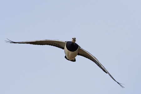 Barnacle goose in flight with blue skies in the background Stock fotó - 97985339