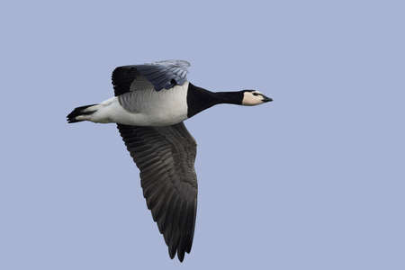 Barnacle goose in flight with blue skies in the background Stock fotó - 97760418