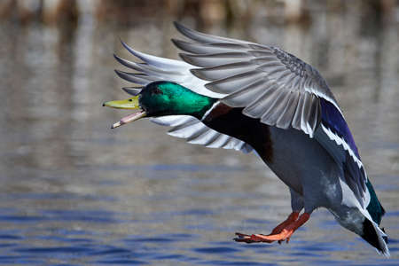 Mallard in flight in its natural habitat in Denmark