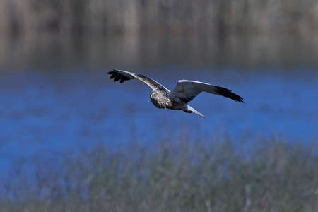 Western marsh harrier in flight in its natural habitat