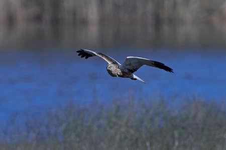 Western marsh harrier in flight in its natural habitat 版權商用圖片 - 99134398