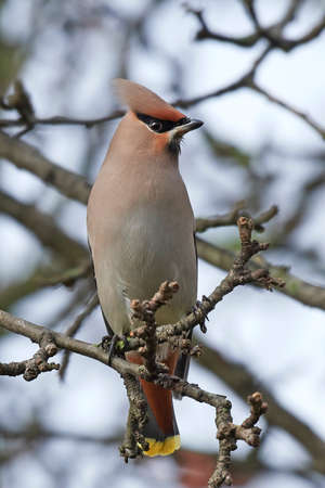 Bohemian waxwing in its natural habitat, Denmark Stock fotó