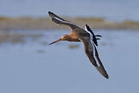 Black-tailed godwit in its natural habitat in Denmark