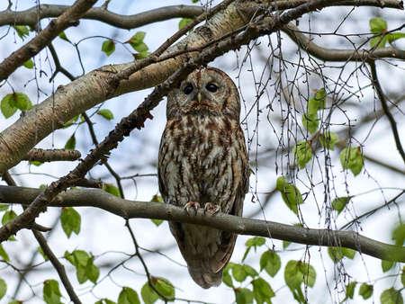 Tawny owl in its natural habitat in Denmark