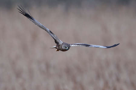 Western marsh harrier in its natural habitat
