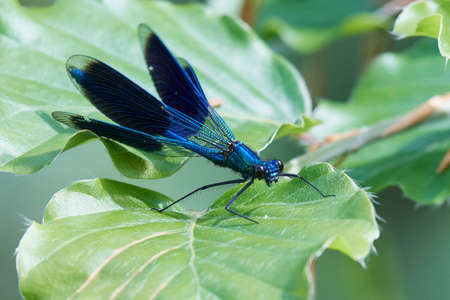 Banded demoiselle in its natural habitat in Denmark Stock Photo